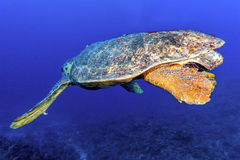 Old big green turtle Royalty Free Stock Photography