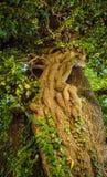 Old big linden tree closeup. Old big linden tree closeup Stock Image