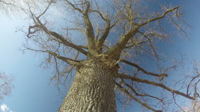 Old big majestic oak trunk  in spring and white clouds, time lapse 4K stock video