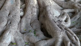 Old big majestic tree roots in Rhodes park, Greece stock footage