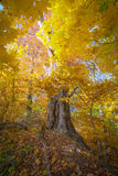 Old big maple tree in autumn forest. Big old yellow maple tree in autumn forest Royalty Free Stock Photos
