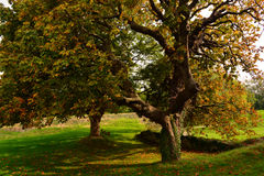 Old Big Oak Tree in Autumn at Carisbrooke Castle, Newport, the Isle of Wight, England Royalty Free Stock Images