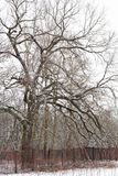 Oak tree in the forest in winter royalty free stock images