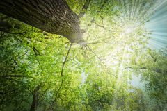 Old big oaks royalty free stock images