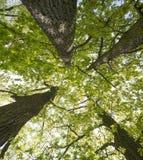 Old big oaks trees stock photos