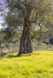 Old big olive tree against the sun and the green grass. Stock Photo