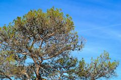 Old big pine. Big old pine with cones against the background of the sky royalty free stock photos