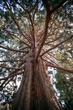 Old big pine wood in wild Stock Image