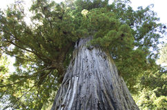 Old big redwood Stock Photography