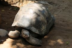 Old tortoise rests in the shade. Old big tortoise rests in the shade of trees royalty free stock photos
