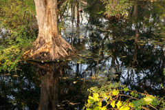 Old big tree in the forest with dirty water Stock Photography