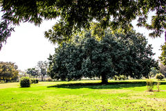 Old big tree in the park. Nakhon Pathom, Thailand Stock Image