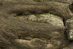 Old big tree roots on the rocks Stock Photography