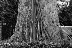Old big tree and strut Royalty Free Stock Images