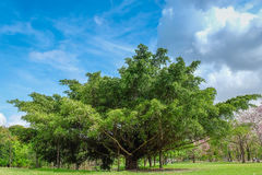 Old big tree under colud and blue sky. Thailand Stock Photo