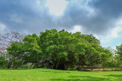 Old big tree under colud and blue sky. Thailand Royalty Free Stock Image