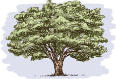 Old big tree. Vector image of a big deciduous tree royalty free illustration