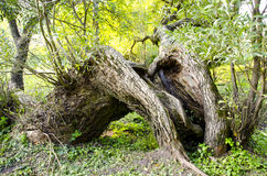 Old and big willow in the park Royalty Free Stock Image