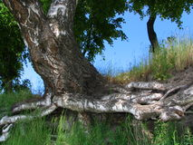 Old birch. Roots of a birch stock photography