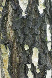 Old Birch Bark Texture. Nature pattern of Birch tree. Surface of old tree background Stock Photography