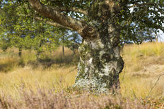 Old birch in National Park Hoge Veluwe Stock Image