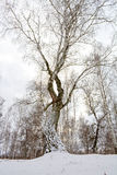 old birch Royalty Free Stock Photography