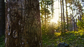 Old birch in summer siberian forest, Ural, wide angle Royalty Free Stock Photos