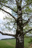 Old birch-tree. Old big birch-tree with already growing leaves Stock Photography