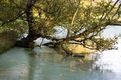 Old birch tree in autumn growing in water Stock Images