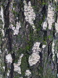 Old birch tree (background). Old birch tree with moss and lichen (vertical background Stock Photography