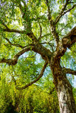 An old birch tree with long branches in Spring time. Stock Photo