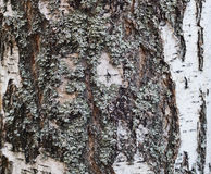 Old birch trees bark covered with lichen, Texture Stock Image