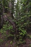 The old birch Stock Photos