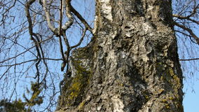Old birch trunk with hollow in spring. Time stock footage