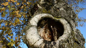 Old birches with hollow in autumn. Time stock video footage