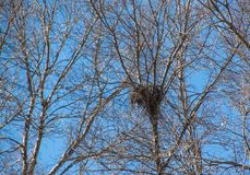 Old birds nest in a dry tree without leaves Stock Photo