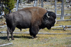 Old Bison. In Yellowstone National Park Royalty Free Stock Photography