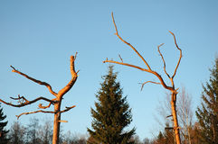Old bizarre trees. Old bizarre pine tree branches Stock Photos