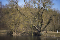 Old black adler tree by the lake Stock Photo