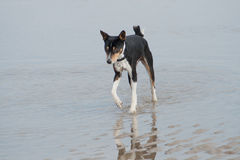 Old black basenji paddling Stock Photography