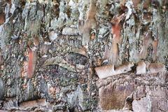 Old black birch background Royalty Free Stock Photos