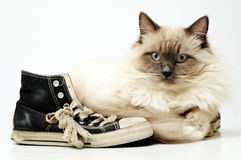 Old black canvas sneakers with Ragdoll cat Royalty Free Stock Photo