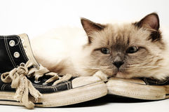 Old black canvas sneakers with Ragdoll cat Royalty Free Stock Photos