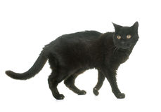 Old black cat. In front of white background stock photography