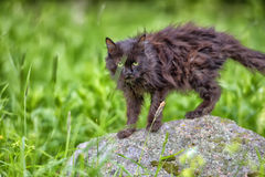 Old black cat in grass Stock Images