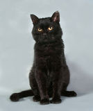 Old black cat with yellow eyes sitting on gray Royalty Free Stock Photography