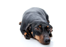 Old black daschund Stock Photo