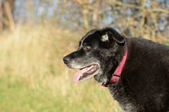 Old black dog Royalty Free Stock Images