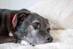 A black dog falling asleep stock photo