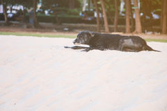 Old black dog relax on the beach Royalty Free Stock Photography